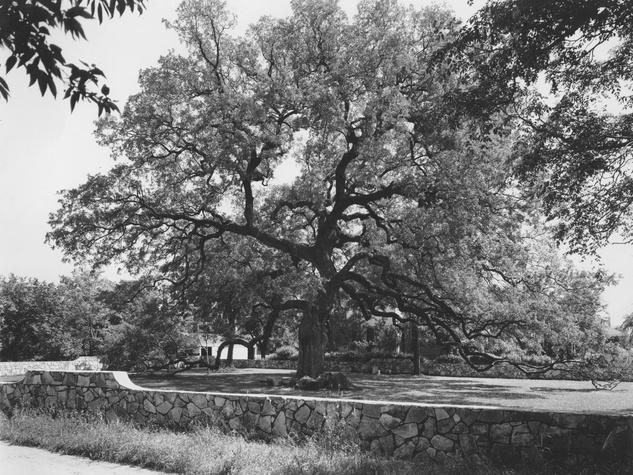 Treaty Oak Austin live oak tree