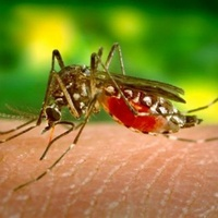 Austin Photo Set: News_Kreisberg_west nile virus_aug 2012_mosquito