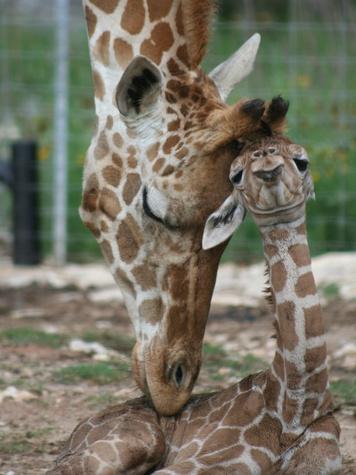 Baby giraffes at Natural Bridge Wildlife Ranch