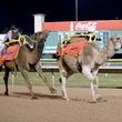 camel race finish line