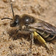 Native North AMerican bee