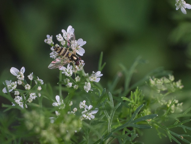 Cilantro blossoms being visited by a native pollinator