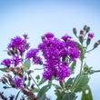 Photo of ironweed