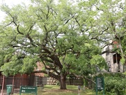 East Montrose home tour giant oak tree in Shiffick Park