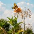 Photo of swallowtail butterfly on zinnia