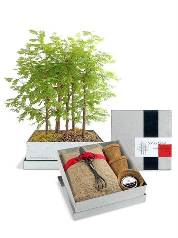 Redwood Bonsai Kit at Nasher Store
