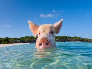 Pig at beach