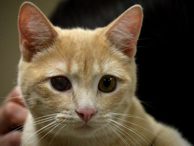 pet of the week from Austin Pets Alive! Van Halen cat