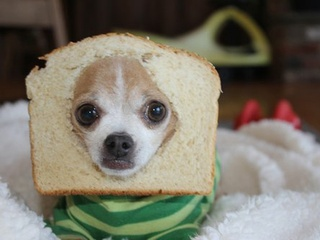 Dog stuck in piece of bread