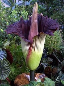 Corpse flower