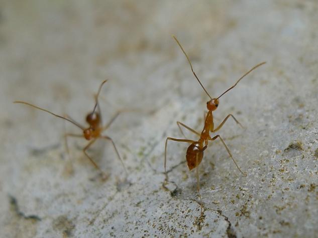 Tawny crazy ants