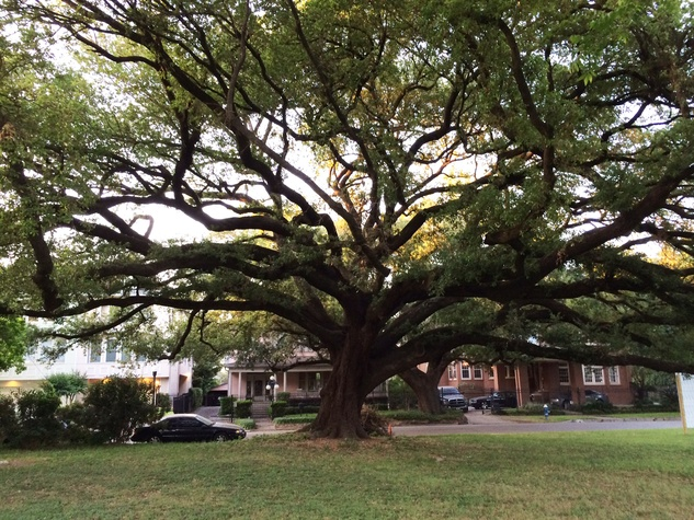 2 old live oak tree Masterson Oaks at Westmoreland May 2014