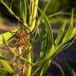 Photo of wolf spider eating grasshopper
