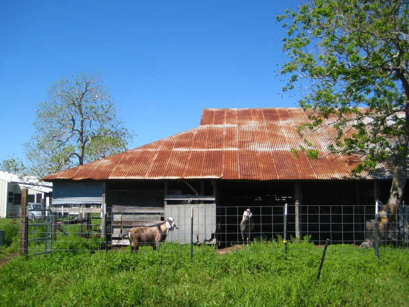 Blue Heron_goat farm