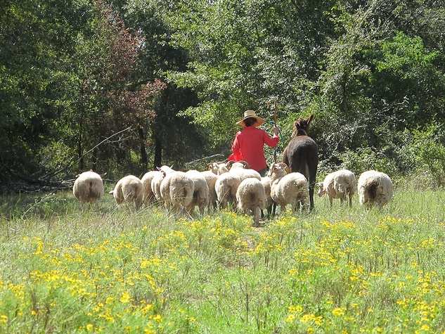 """10 Katie Laughing Frog Farm October 2013 Kenan moving the Gulf Coast Native Sheep. """"Ringo"""" and """"Dos"""" assisting."""