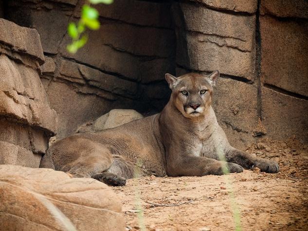 News_Houston Zoo_cougar den_cougar
