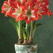 Harry & David amaryllis triple blooms holiday gifts