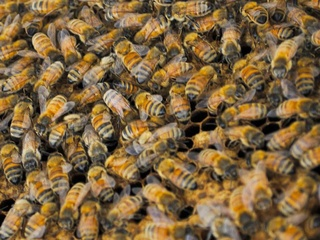 Killer Bees Africanized bees nest