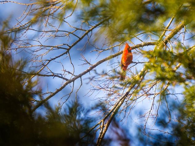 Photo of male cardinal in cedar tree