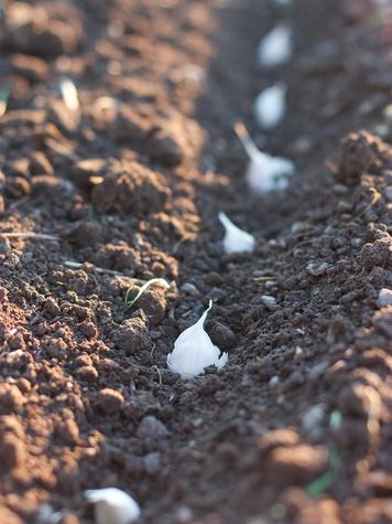 garlic planted in soil