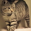 Mr. Gray cat APA!