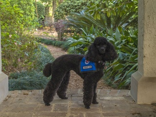 Tootsie, a therapy dog with Faithful Paws Pet Therapy Program