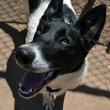 close up of Mickey Mouse APA! pet of the week dog