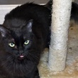 Furline Austin Pets Alive! cat next to scratching post with tongue out