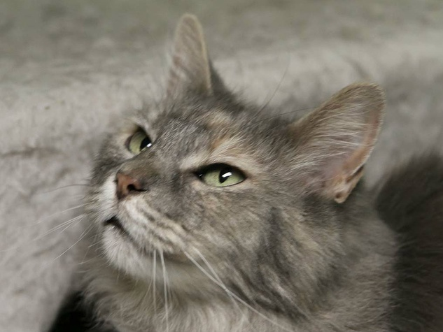 billy jean the cat from Austin Pets Alive! pet of the week looking up