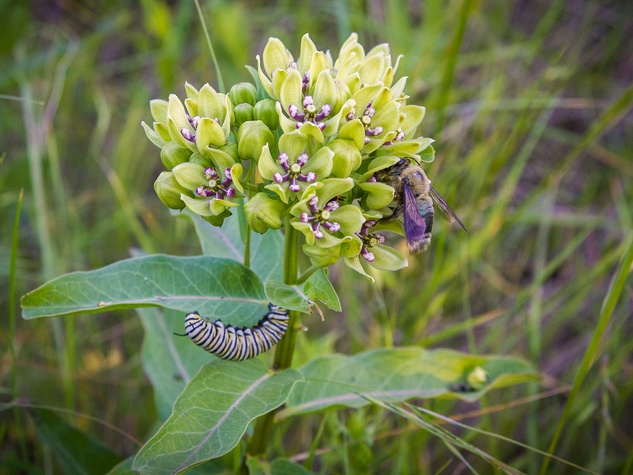 Photo of milkweed with bee and caterpillar
