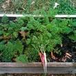 Planted Edible Earth garden Coltivare carrots