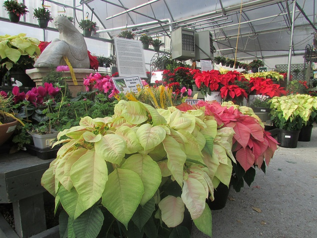 Ready to Jingle plants as gifts December 2014 poinettias at Buchanan's