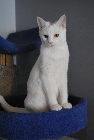 Anne white cat APA!