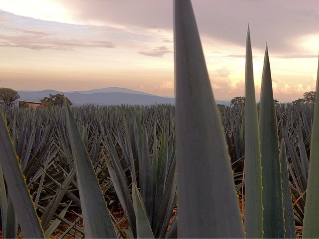 Agave plant tequila field