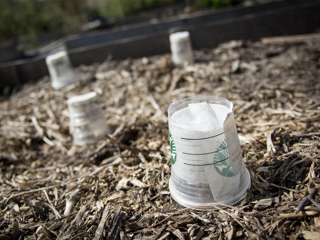 Upcycled cups protecting seedlings