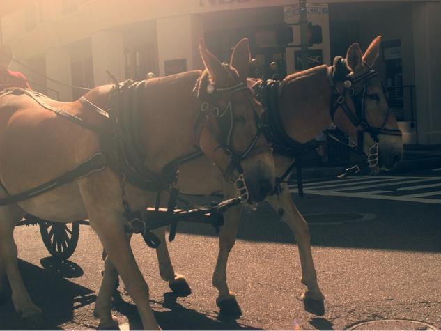 charleston, horse drawn carriage