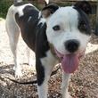 APA's! Spanky black and white dog