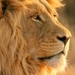 Lion, Dallas Zoo