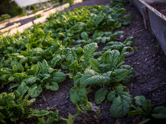 Garden bed of spinach