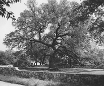 Treaty Oak Austin live oak tree