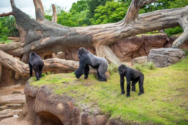 Houston, Houston Zoo Gorillas, May 2015, gorilla family in outdoor habitat
