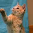 pet of the week from Austin Pets Alive! Van Halen cat playing