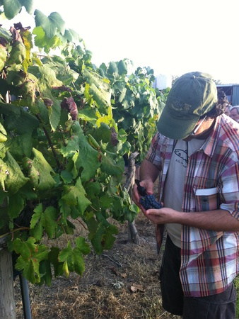 Joel, Messina Hof, July 2012, vineyard