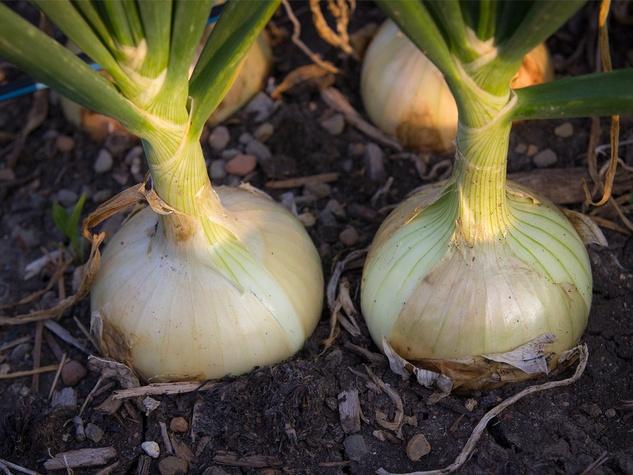 Mature onion bulbs