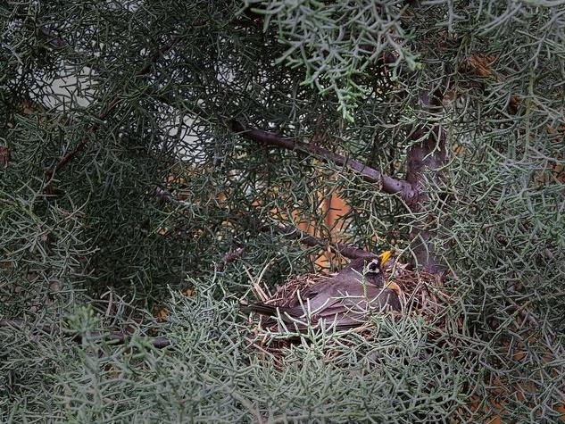 Photo of robin in nest