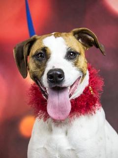 Austin Pets Alive dog Gracie, a whippet mix