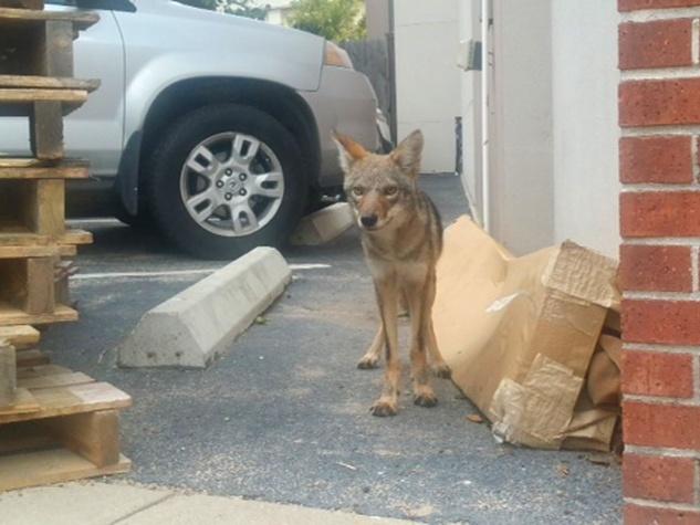 3 coyotes near Bayou Bend October 2014