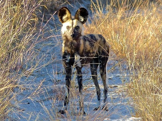 Painted Dog Research Trust: An evening with Greg Rasmussen, biologist from Zimbabwe