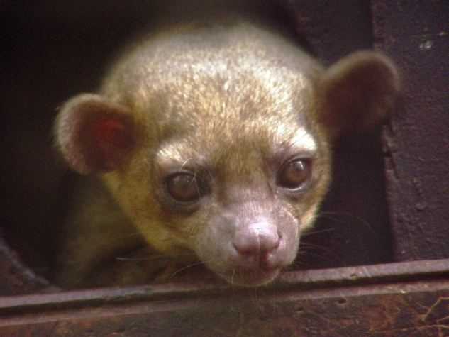 Kinkajou exotic pet