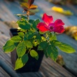 Photo of rooted rose